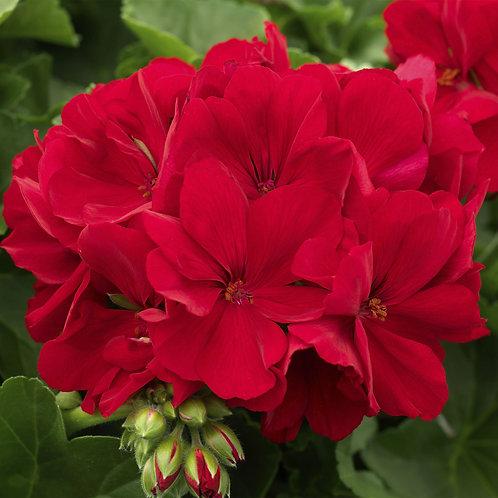 Geranium Calliope 'Dark Red'