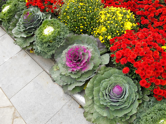 Mums and ornamental cabbage