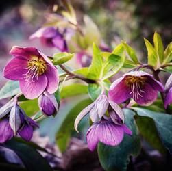 Hellebore (Lenten Rose)