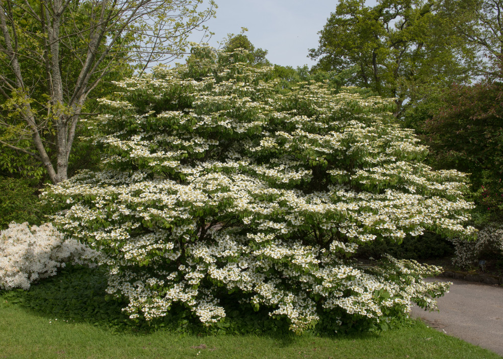 Often mistaken for a Dogwood tree, the wonderful 'Shasta' Viburnum layers its blossoms like a tiered wedding cake.