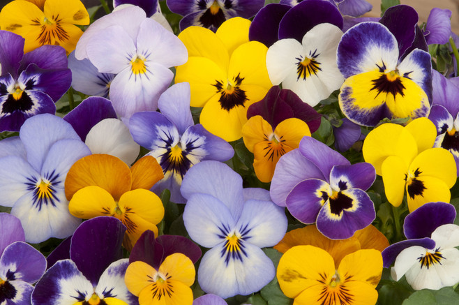 Violas bloom profusely, even in the coldest months.
