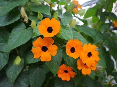 Black Eyed Susan Vine Basket- Orange (Thunbergia)