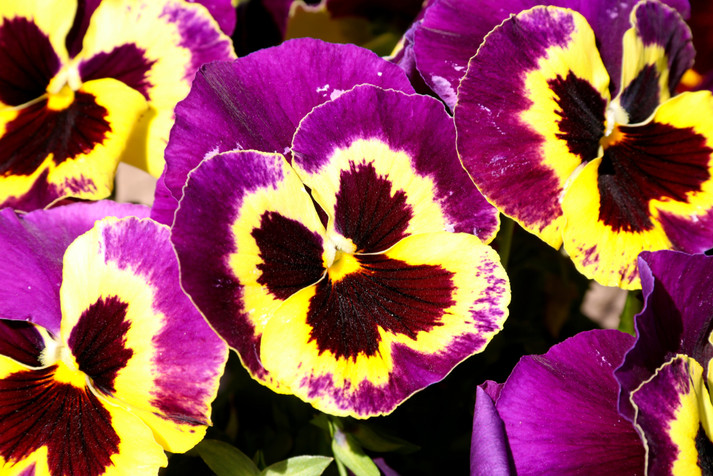 Pansies come in many unique colors.