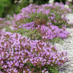 Creeping Thyme groundcover