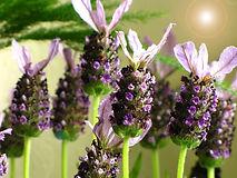 online store lavender flower.jpg