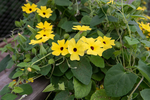 Black Eyed Susan Vine Basket- Yellow (Thunbergia)