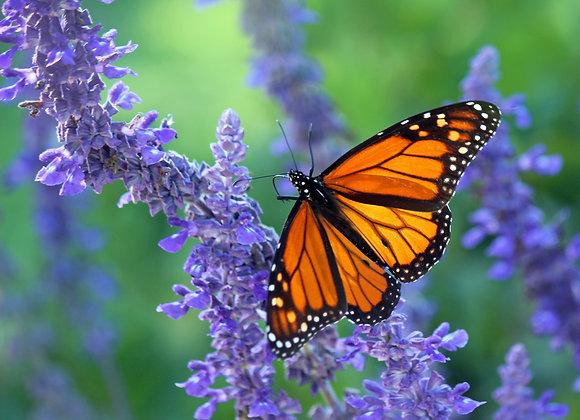 50 Monarch - Mass Release