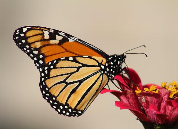 25 Monarch - Individual Release
