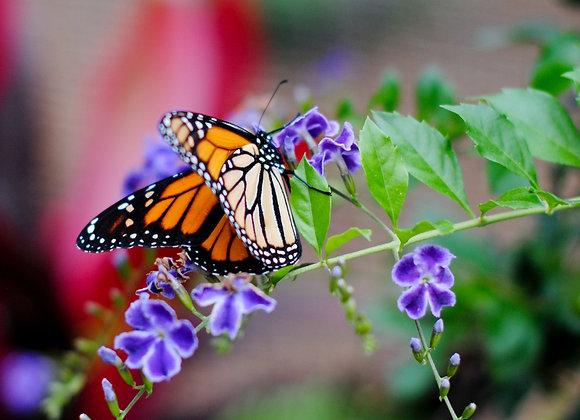 10 Monarch - Mass Release