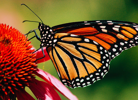 25 Monarch - Mass Release
