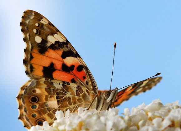 50 Painted Lady - Mass Release