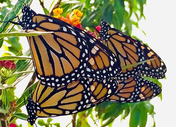 50 Monarch - Individual Release