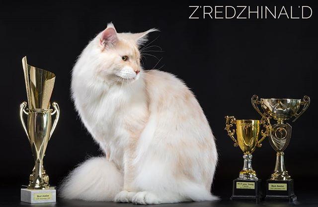 Племенной кот нашего будущего питомника