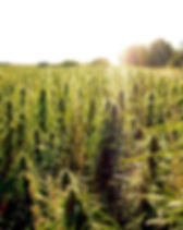 Field of hemp.jpg