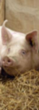 parfarm_vet-puercos-crop-u192025.jpg
