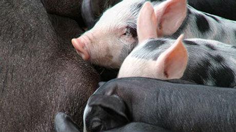 porcinos_veterinario-crop-u78133.jpg