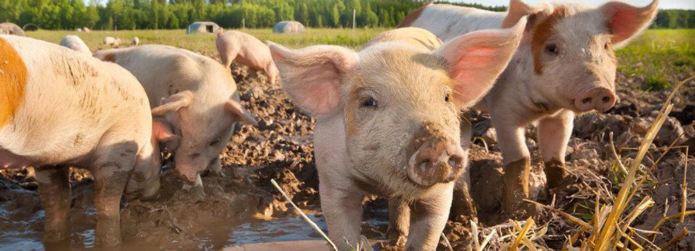 porcinos2-crop-u3685.jpg