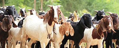 medicina-chivos-bovinos-crop-u193648.jpg