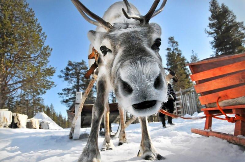Оленьи упряжки , катание на оленях в Финляндии,OvLGroup,