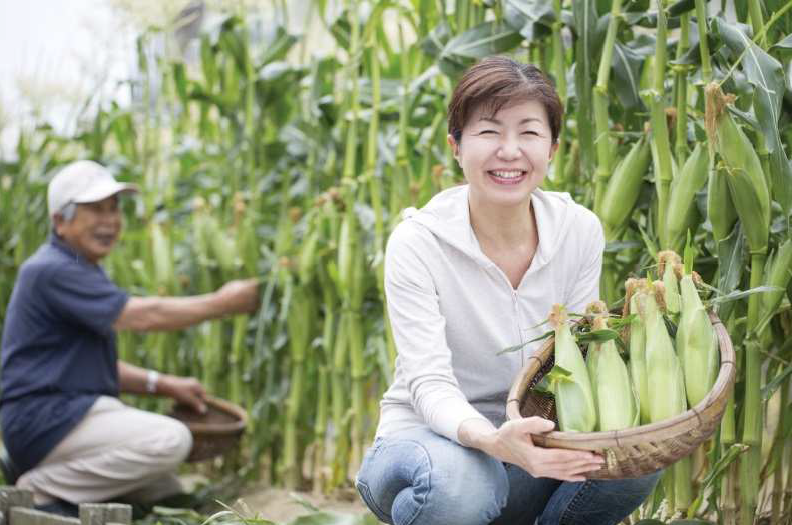 Corn Plantation