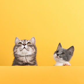 cute-little-gray-cat-and-kitten-on-a-yel
