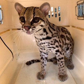 ¡CAUCEL AL BOSQUE! / MARGAY TO THE FOREST!