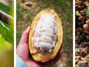 Cocoa Beans - Have No Flavour