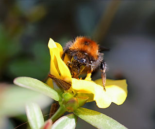 Wildbienen%20Baumhummel%20-%20Bombus%20h