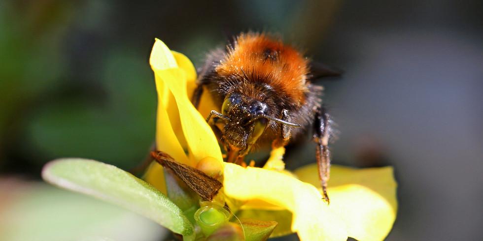 Wildbienen in Natur und Garten