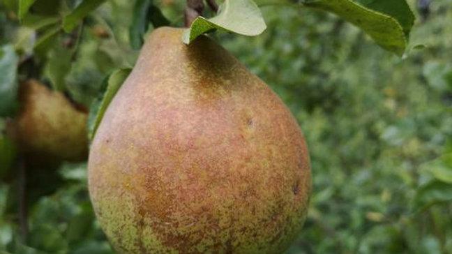 Organic Doyenne Du Comice - Pear (kg)