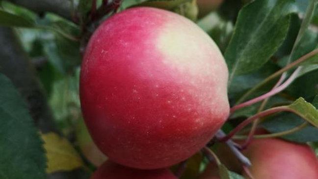 Organic NZ Beauty - Apple (kg)