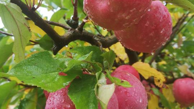 Organic NZ Rose - Apple (kg)