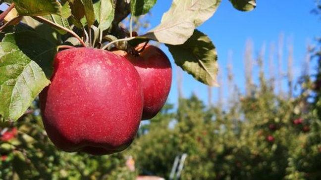 Organic NZ Queen - Apple (kg)