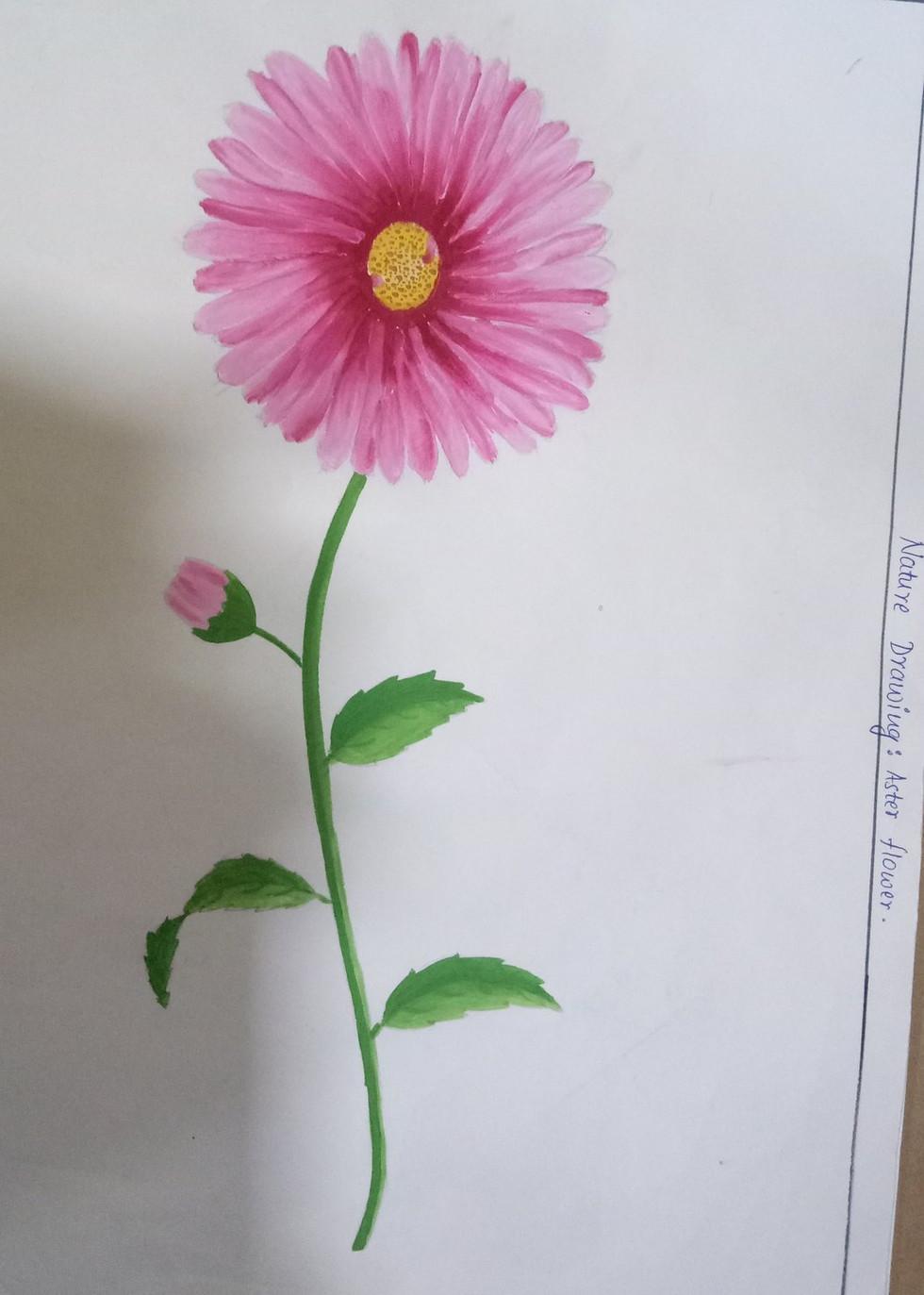 nature_drawing_aster_flower.jpg
