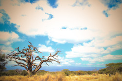 Kenya Acacia
