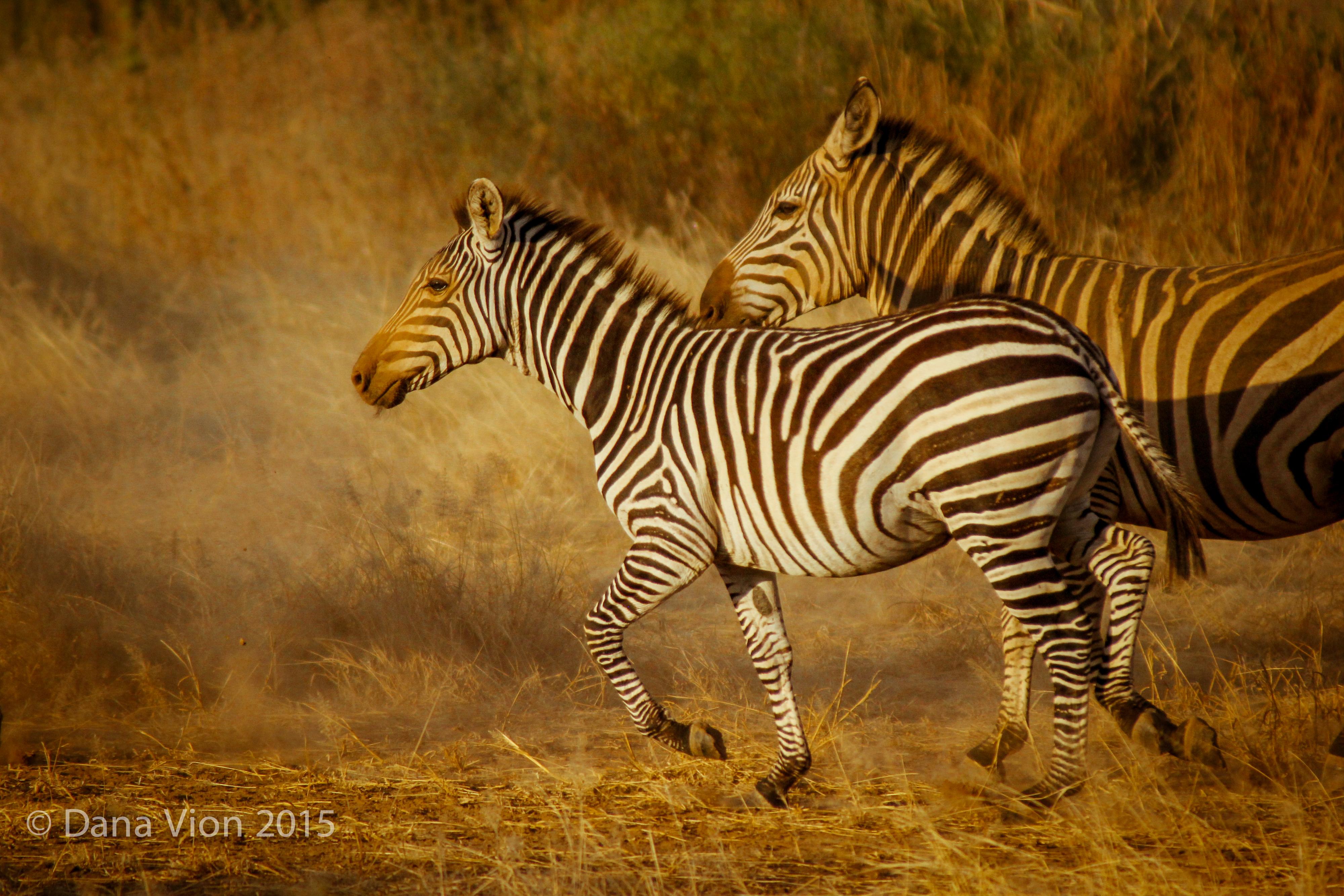 Zebra Duo South Rift