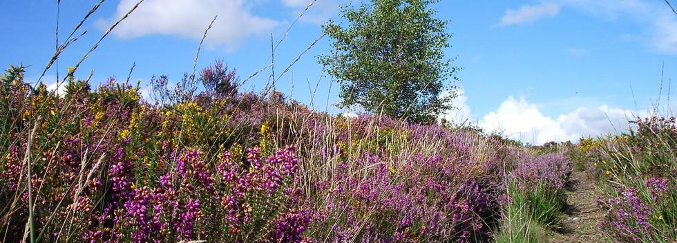 Upton Heath beautiful summer heather SD