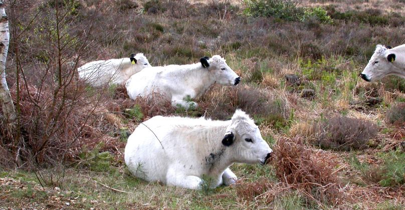 'British%20White'%20cattle%20are%20used%