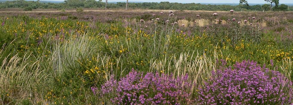 Beautiful heathland scene photo by Jade