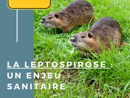 L'enjeu sanitaire de la leptospirose