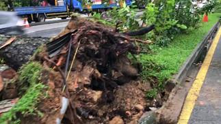Entwurzelter Baum entlang der MacPherson Road nach starkem Regen