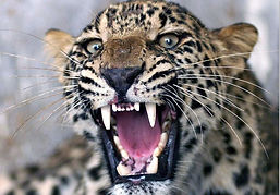 leopard_edited.jpg