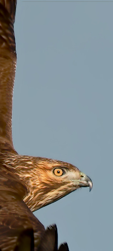 The Incredible Red Tail Hawk