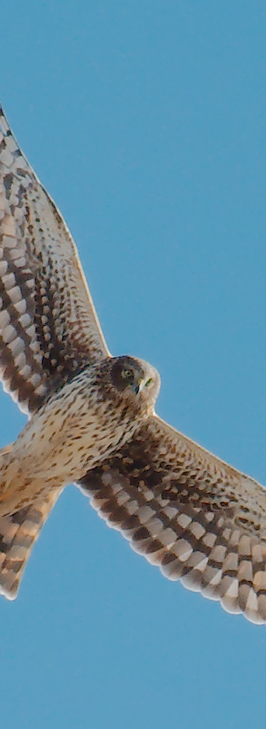 The Magnificant Northern Harrier