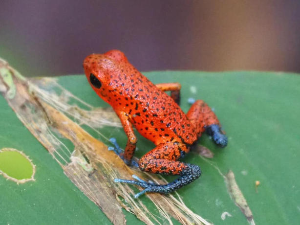 Red Frogs