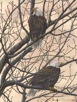 Bald Eagle Couple