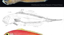 Smithsonian Fish Illustration