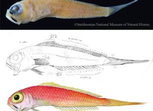 Smithsonian Fish Illustration