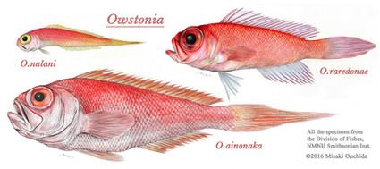 Owstoniathree.jpg