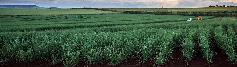 brazilian-sugar-cane-fields-sun-set_edited.jpg